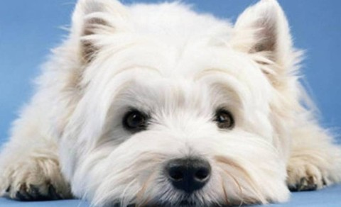 nicce-white-west-highland-white-terrier-wallpaper