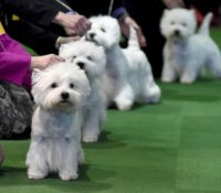 Ohio Westie — The Home of the West Highland White Terrior Club of